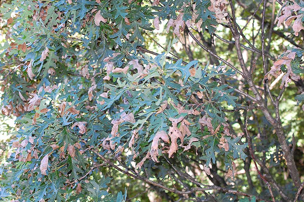 anthracnose symptoms on oak trees
