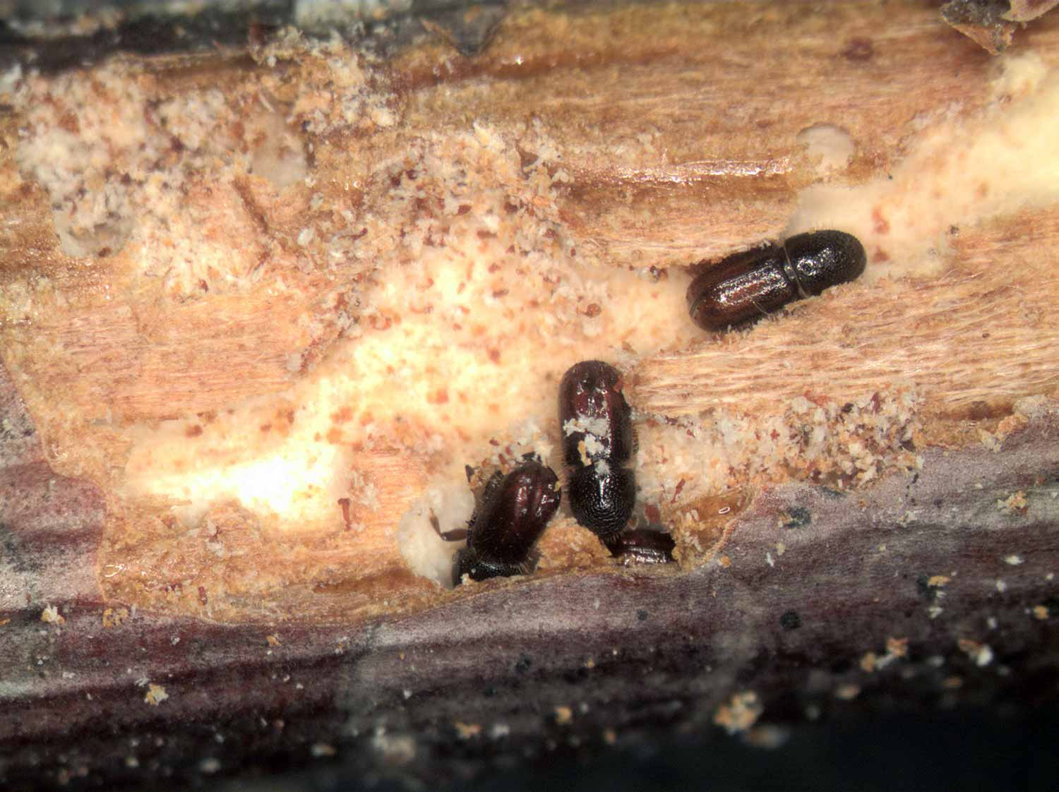 Adult Bark Beetles in a twig
