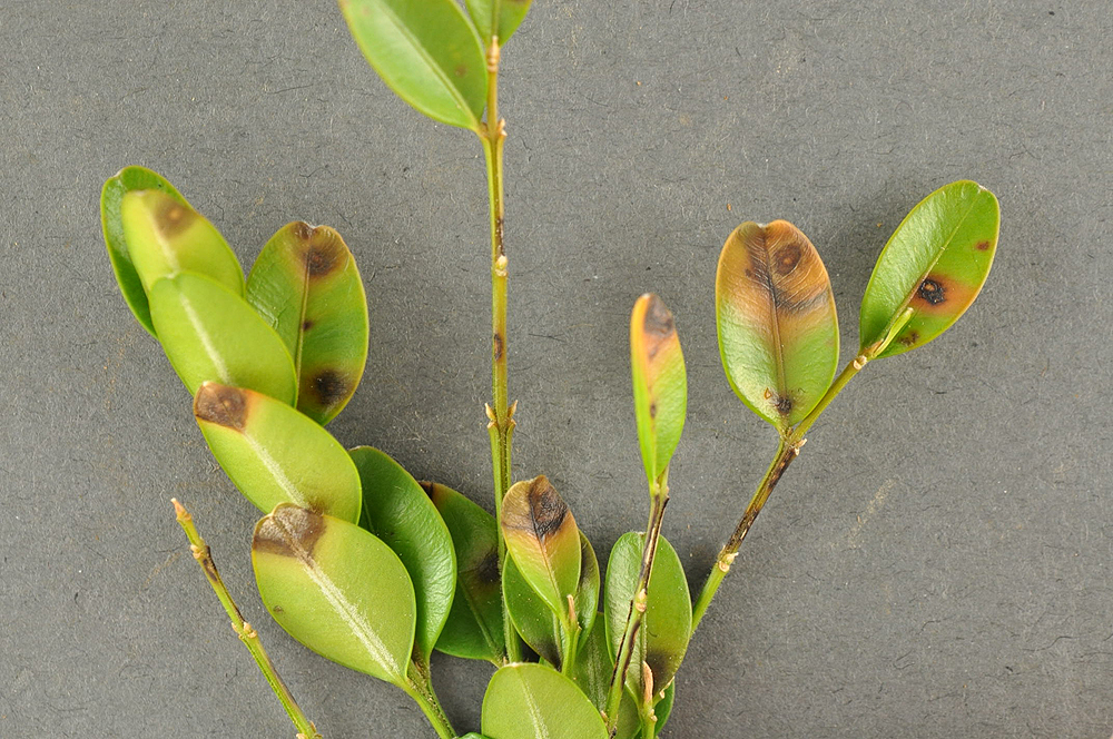 Circular leaf spots infection sign