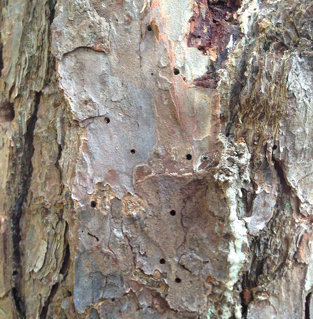 Southern Pine Beetle Exit Holes